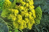 bejeque-aeonium-arboreum