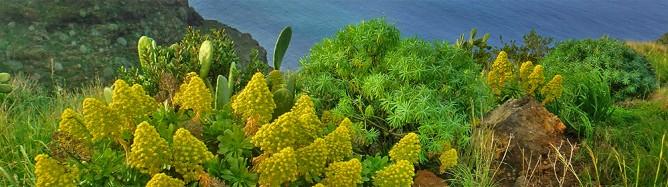 bejeque-aeonium-arboreum-bluetenkerze
