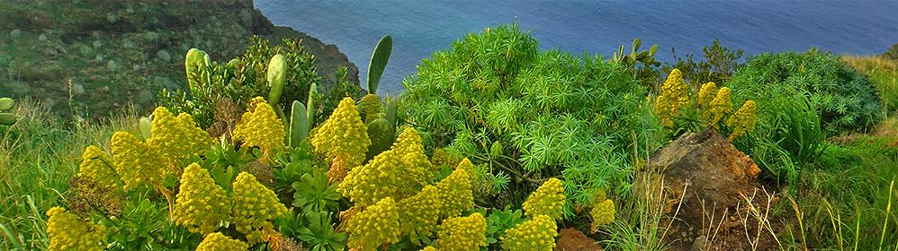 Gelbe Blütenkerze - La Palma Travel