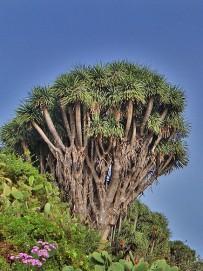 drago-drachenbaum-la-palma