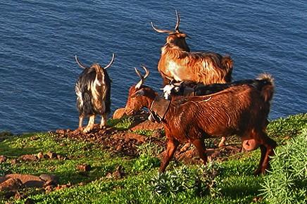 garafia-cabras