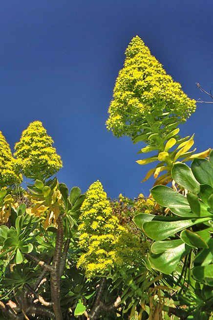 kanaren-aeonium-arboreum-blueten-kerze-la-palma