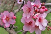 mandelbluete-flor-almendro-almond-blossom-la-palma