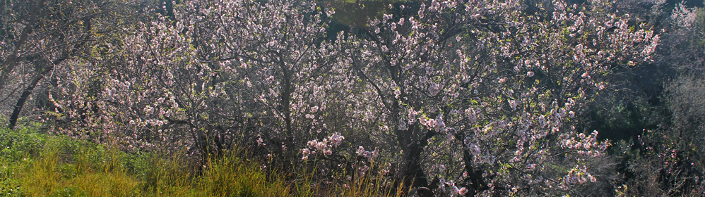 Almond Blossoms on La Palma - La Palma Travel