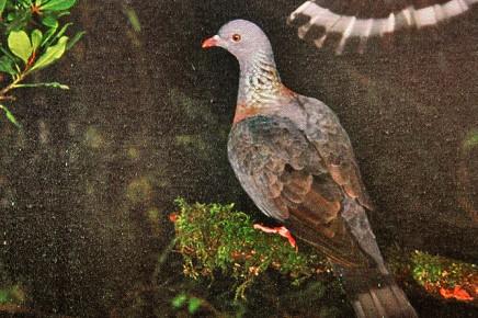 paloma-taube-los-tilos-dove