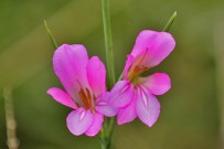 acker-gladiole-la-palma