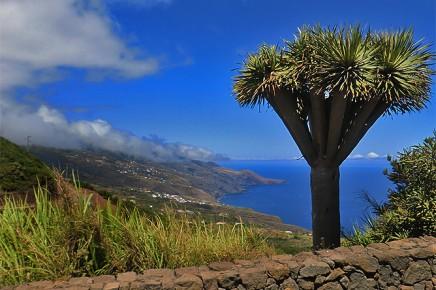 La Palma Drachenbaum