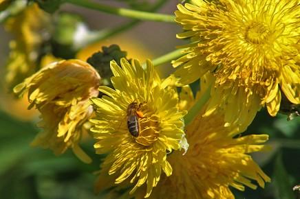 gaensediestel-sonchus-pinnatus-hierrensis-benehoavensis