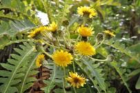 gaensediestel-sonchus-pinnatus-hierrensis-las-tricias