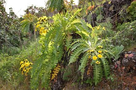 gaensediestel-sonchus-pinnatus-palmensis-bejeques-la-palma