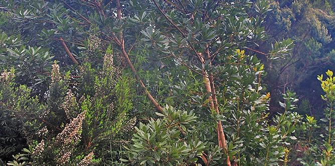 la-palma-flora-fayal-brezal