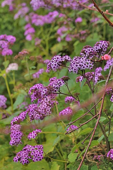 maiblume-enciba-flor-de-mayo-pericallis-papyraceus-la-palma