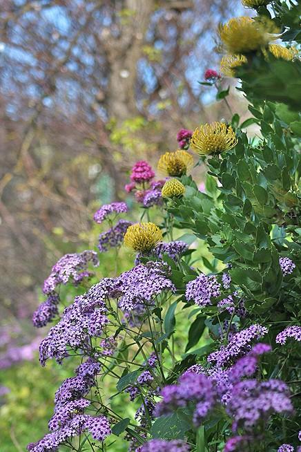 natur-garten-la-palma-protea-flor-de-mayo-maiblume-zuckerbusch