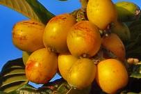 nispero-woll-mispel-frucht-la-palma