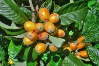 Nisperos: Obst und Gemüse aus lokalem Anbau