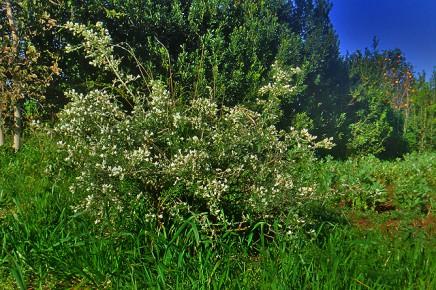 tagaste-tagasaste-chamaecytisus-proliferus-palmensis-arbusto
