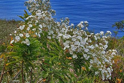 bluetenreiche-winde-guaidil-anuel-convolvulus-floridus-canarias