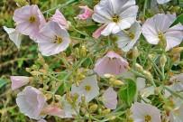 bluetenreiche-winde-guaidil-anuel-convolvulus-floridus-la-palma