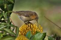 kanaren-zilpzalp-mosquitero-phylloscopus-collybita-ssp-canariensis