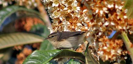 kanaren-zilpzalp-mosquitero-phylloscopus-collybita-ssp-canariensis-la-palma