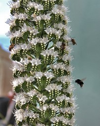 tajinaste-berg-natternkopf-echium-la-palma-abejas-bienen