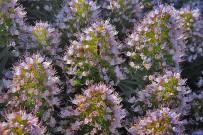 tajinaste-berg-natternkopf-echium-la-palma-bluete-flor