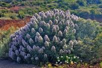 tajinaste-natternkopf-echium-la-palma-arbusto-busch