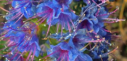 tajinaste-natternkopf-echium-la-palma-blau-azul