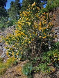 adenocarpus-codeso-druesen-ginster-la-palma