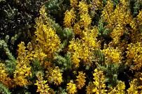 adenocarpus-foliolosus-codeso-de-monte-druesen-ginster