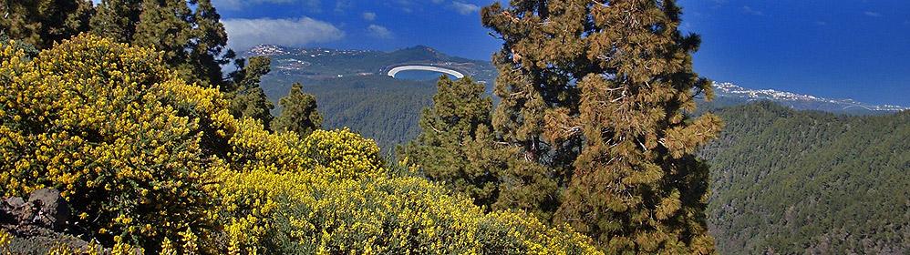 Ginster, der gar keiner ist - La Palma Travel