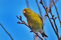 kanarienvogel-canario-pajaro-kanaren-girlitz-serinus-canaria-lapalma