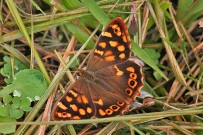 kanarisches-waldbrettspiel-falter-maculada-mariposa-perarge-xiphioides