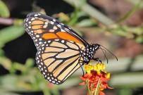 monarchfalter-mariposa-monarca-danaus-plexippus