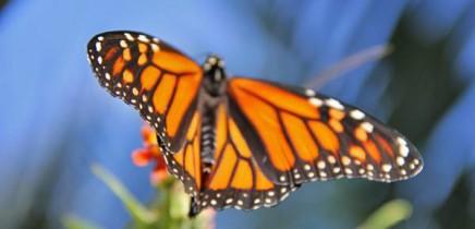 monarchfalter-mariposa-monarca-danaus-plexippus-alas