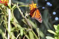 monarchfalter-mariposa-monarca-danaus-plexippus-falter-raupe-puppe