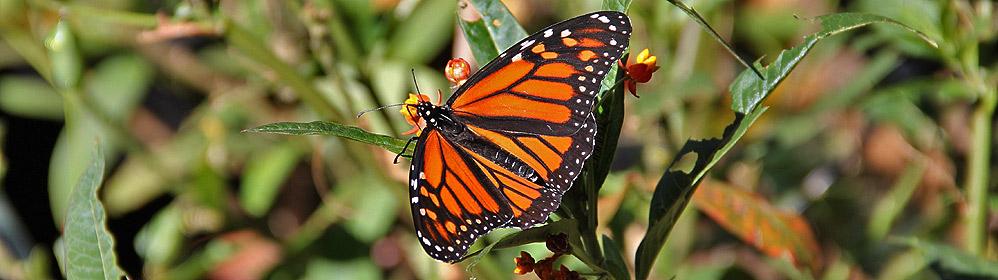 Monarchfalter auf La Palma - La Palma Travel