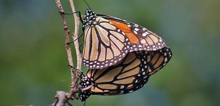 monarchfalter-mariposa-monarca-danaus-plexippus-paarung