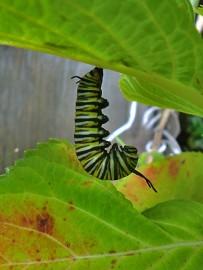 monarchfalter-mariposa-monarca-danaus-plexippus-raupe-in-j-haltung