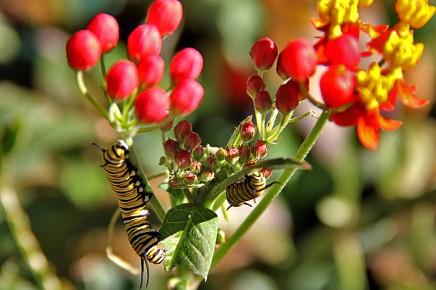 monarchfalter-mariposa-monarca-danaus-plexippus-raupen-seidenpflanze-asclepias