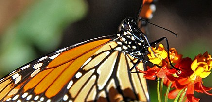 monarchfalter-mariposa-monarca-danaus-plexippus-seidenpflanze-asclepias