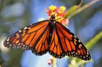 monarchfalter-mariposa-monarca-danaus-plexippus-seidenpflanze