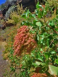 mond-ampfer-vinagrera-rumex-lunaria-la-palma