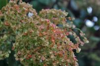 mondampfer-vinagrera-rumex-lunaria-samen-semillas-la-palma