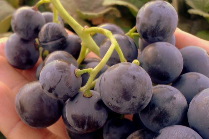 07-bodega-matias-i-torres-la-palma-fuencaliente-uvas