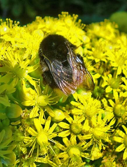 abejorro-kanarische-erdhummel-bombus-canariensis-la-palma-