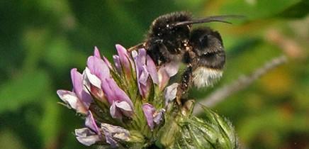 abejorro-kanarische-erdhummel-bombus-canariensis-la-palma-klee