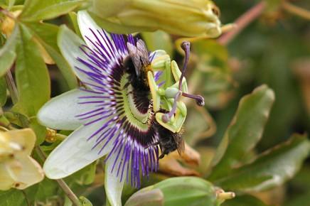 abejorro-kanarische-erdhummel-bombus-canariensis-la-palma-maracuya