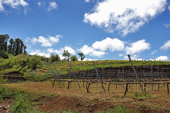 bodega-el-nispero-la-palma-briesta-garafia-viticultura