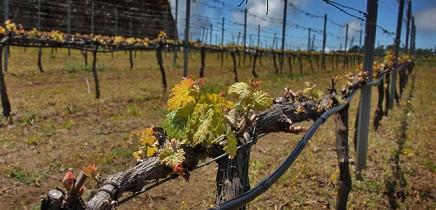 bodega-el-nispero-la-palma-viticultura